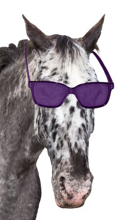 nonchalant: A funny spotted Knabstrupper horse with sunglasses is looking into the camera. On white background.