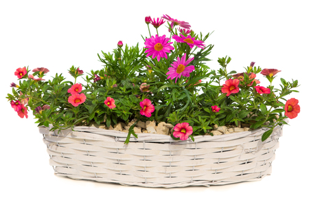 flower pot: Daisies and Petunia flowers are decorated in a white basket, on white.