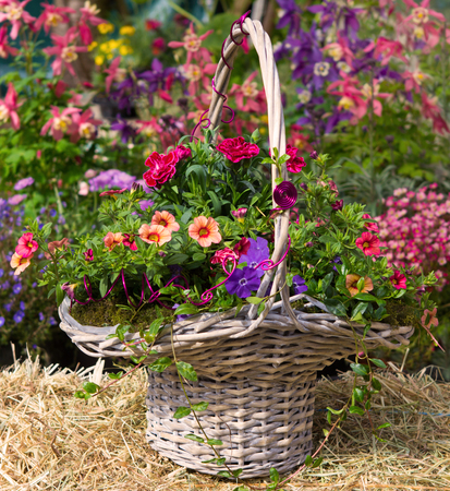 flowers in vase: Basket with beautiful early flowering plants like petunia and dianthus on hey, with a colorful background. Stock Photo