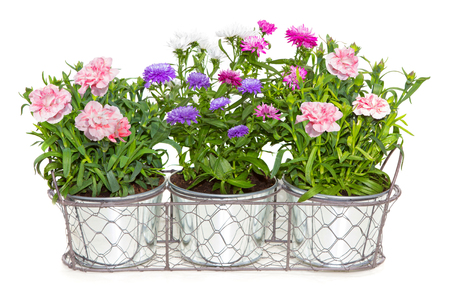 Potted plants: Aster and Dianthus flowers potted in metal flowerpots on white.