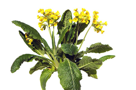 primula veris: Primrose or primula veris, also known as cowslip on white background, this plant is used for lung diseases.