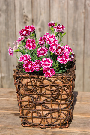 spotted flower: Closeup of white spotted pink gillyflowers or sweet williams in a wooden flower pot for rustic table decoration.