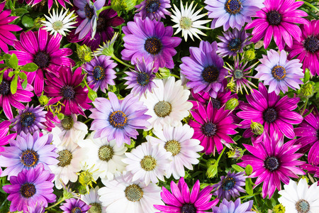 vibrant background: Cleseup of vibrant blossoms of daisybushes or osteospermum. Stock Photo