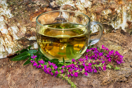 healing plant: Tea or infusion of lythrum salicaria or purple loosestrife used in naturopahie medicine a an hepatoprotective and antidiabetic healing plant.