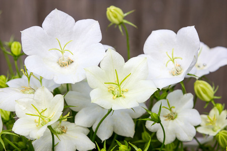 Closeup of beautiful white bellflower blossoms.