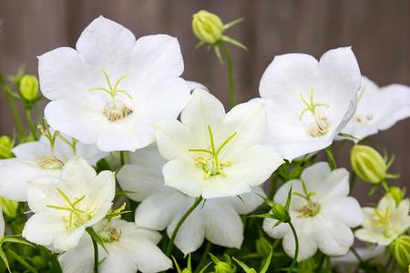 Closeup of beautiful white bellflower blossoms.