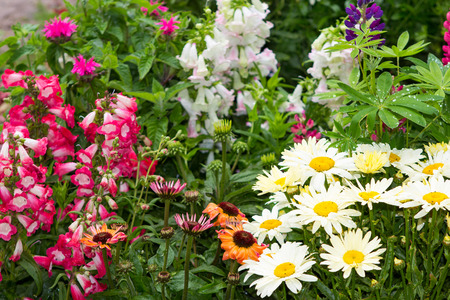 daisys: Perennial plants with many blossoms in the garden. Stock Photo