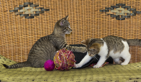 ball of wool: Two kitten are plkaying with a felted ball and wool.