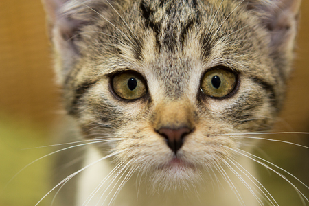 close up view: Close up of an adorable 12 weeks old kitten with an attentive view.