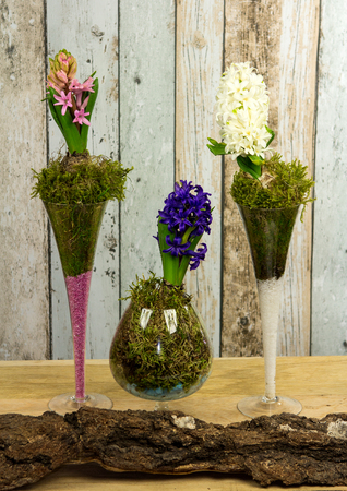 Decorative Hyacinthus plated in glases with colored sand on a wooden table.