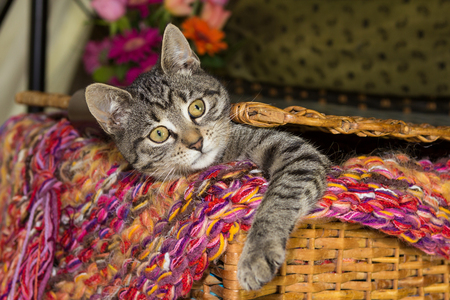 Playful young cat is looking out of a basket.