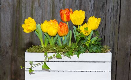 Yellow and orange tulips in a white wooden box in front of a dark wooden background. Stock Photo