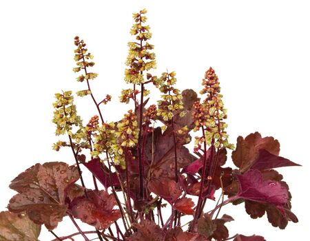 Close up of Heuchera plant with white blossoms, at evergreen garden plant. Stock Photo