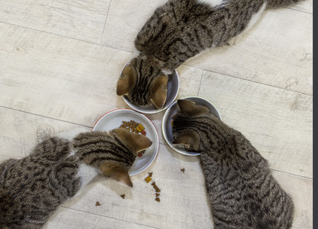Top view of three young cats are eating.