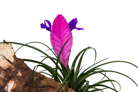 Blossom of Tillandsia cyanea on white background.