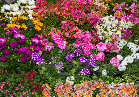 A colorful flowerbed with plenty differnt vibrant perennial plants like verbene, lewisia and others. Stock Photo