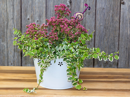 Small box-like houseplant growing in white bucket Stock Photo