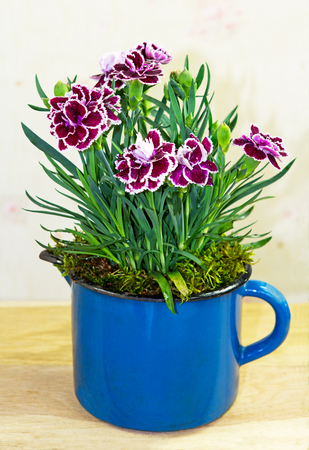 Sweet Williams or carnations with red and white blossoms in a blue flowerpot.