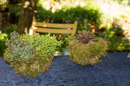 Succulent perennials in decorative mossy baskets on a garden table. Stock Photo