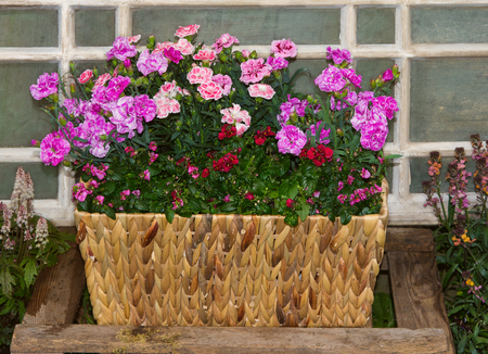 Basket with pink carnations or sweet williams and twinspur flowers in front of an old window in a cottage garden. Stock Photo