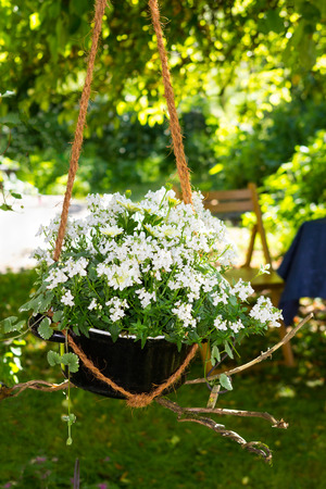 Catmint and Bornholm Magerite with white blossoms in a creative styled hanging basket. Stock Photo