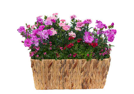 Basket with pink carnations or as known as sweet williams and twinspur flowers with many pink flowers in front of a white background.