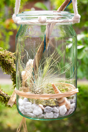 Tillandsia argentea, a airplant, decorative placed in a jar. Imagens
