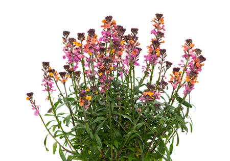 Erysium plant on white background a perennial garden plant which insects like bees love.