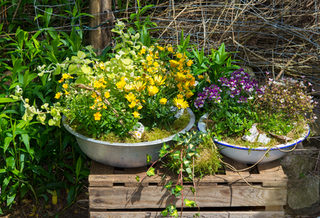 marguerite: Several perennial plants pottet in old containers.