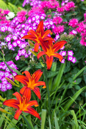 Blossoms of orange Daylily with Phlox plants in the background. Stock Photo