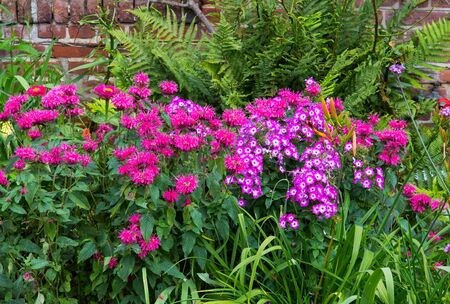 A colorful flowerbed with crimson beebalm and phlox in a cottage garden.