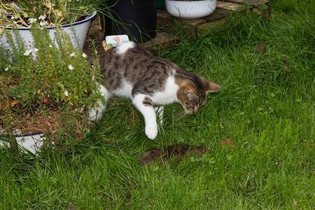 Young cat is killing a rat in the garden.