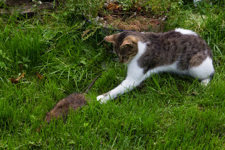 Young cat is fighting with a big rat.