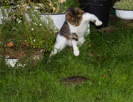 Young cat is hunting a rat and jumps upton it. Stock Photo