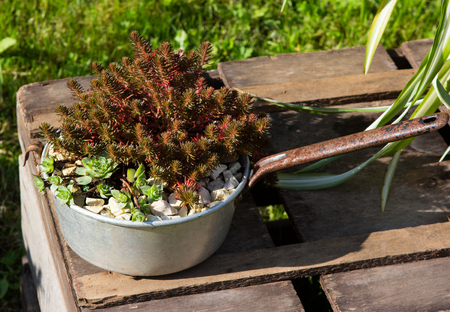 Sukkulents growing outside in a old pan, decorative chabby chic style. Stock Photo