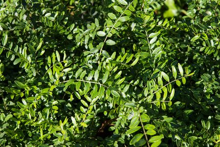 Closeup of green leaves of Lonicera pileata a ground cover plant. Stock Photo