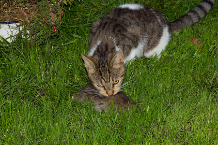 Young cat eats a rat in the garden.