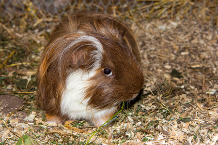Guinea pic (Cavia porcellus) is eating grass and looking into the camnera.