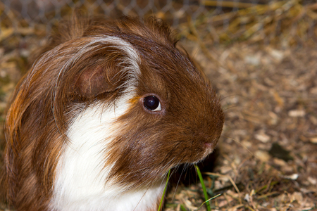 Portrait of a tame guinea pic (Cavia porcellus). Stock Photo
