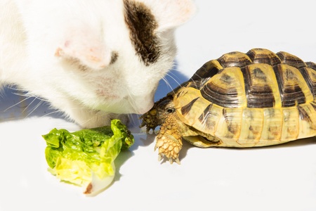 Cat and Turtle get friends.Inquisitive Tomcat gives a Turtle a kiiss.