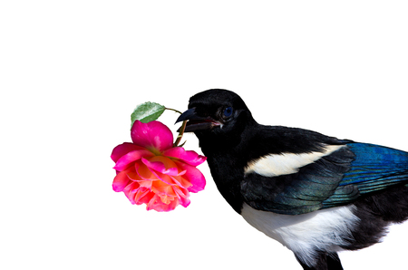 A little Magpie prankster is holding a Rose blossom for exuse. On white background.