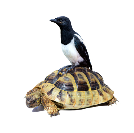 Conceptual image for a slow career with a usual fast bird sitting on a slow turtle.