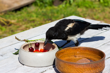 Young hand raised Magpie ( Craw family) is eating on a garden table various fruits.