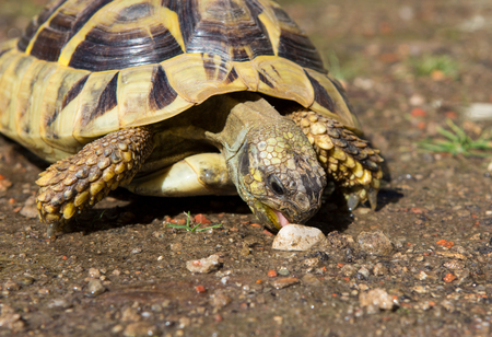 Greek Turle is eating a stone, this shows that it has some feeding difficulties.