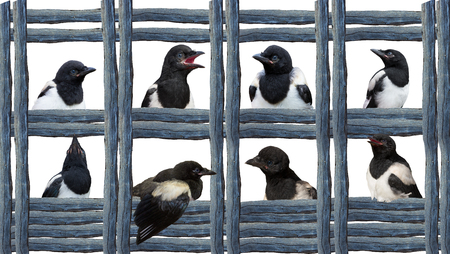 Young Magpies in different expressions between wood, in a geometric style.