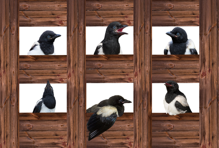 Young Magpies in different expressions are looking out of wooden sqares. Stock Photo