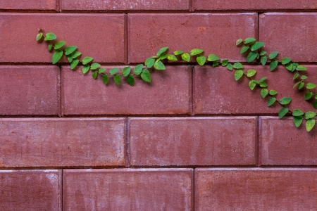 two branches of vine on brick wall photo