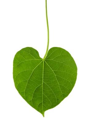 heart shape leaf of herb named guduchi or tinospora cordifolia and drop Stock Photo