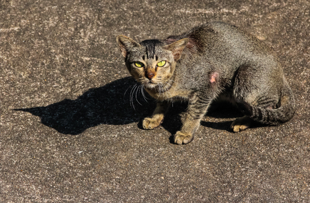 scar: stray striped grey cat with scar on the body at street