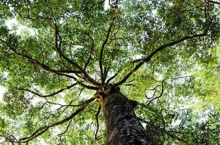 tropical evergreen forest: big tree of Dipterocarpus alatus or yang
